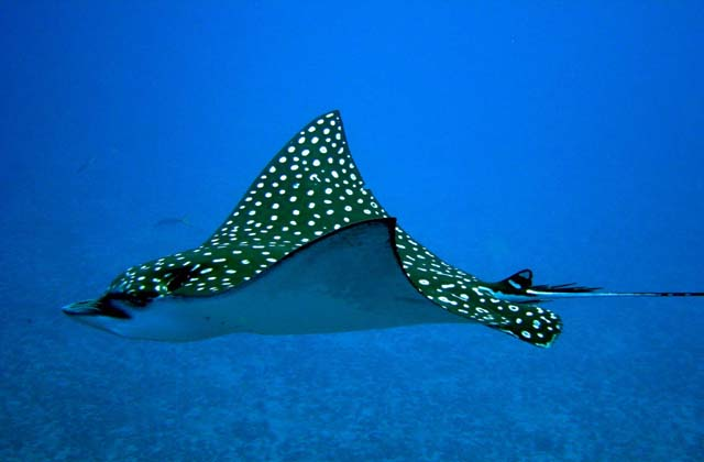 Eagle Ray In Cancun