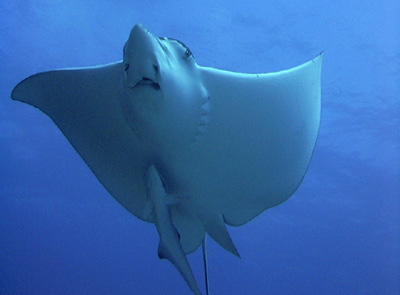 Big Eagle Ray