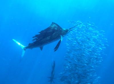 Cancun Sailfish Snorkeling