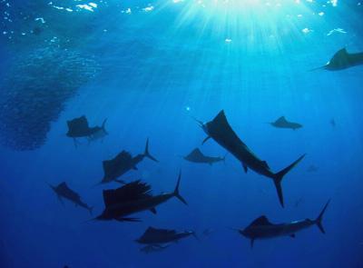 Cancun Sailfish Tour