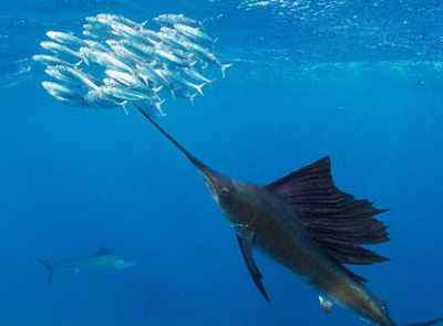 Cancun Sailfish