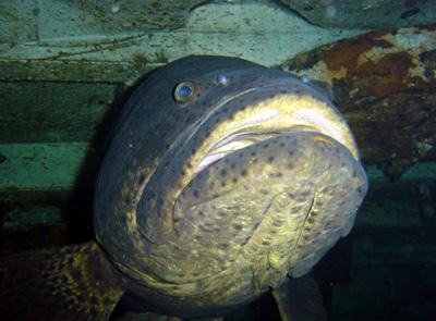 Cancun Wreck Dive Grouper