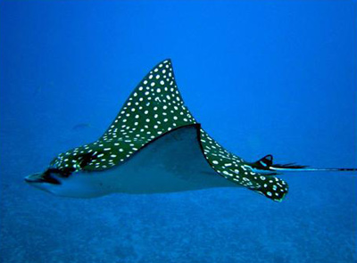 Eagle Ray on reefs with Cancun Diving
