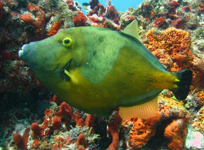 File Fish in Cancun