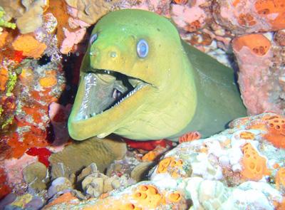 Green Moray in Cancun