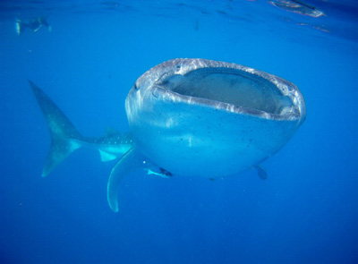 Mexico Whale Sharks
