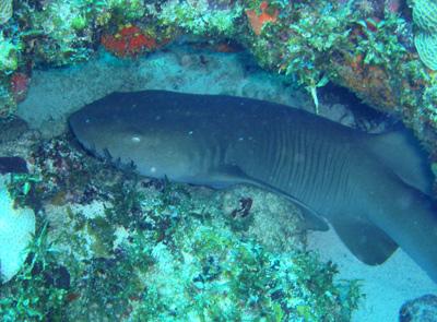 Nurse Shark in Cancun