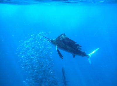 Sailfish Tour Cancun