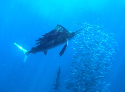 Sailfish Snorkel Tours in Cancun