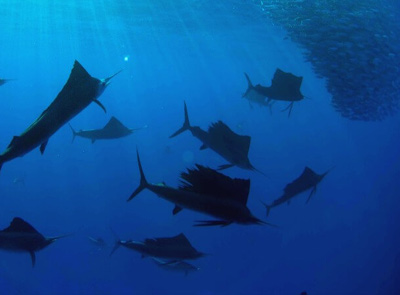 Sailfish Snorkel Tours