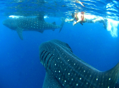 Cancun Whale Shark Tour